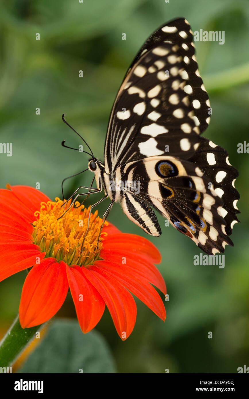 Un Lime a farfalla a coda di rondine Immagini Stock