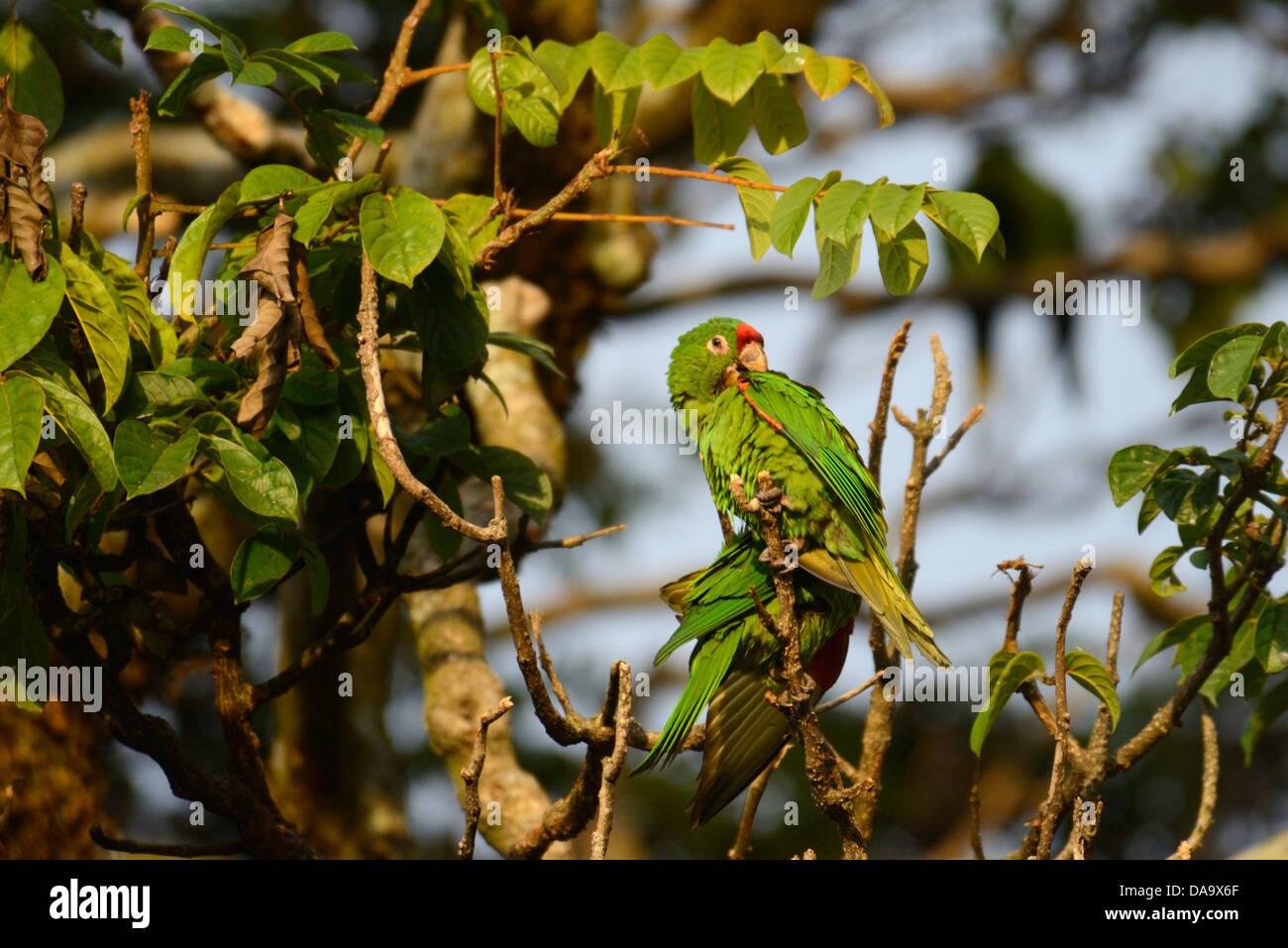 America centrale, Costa Rica, San Jose, Parrot, verde, bird, San Jose, Immagini Stock