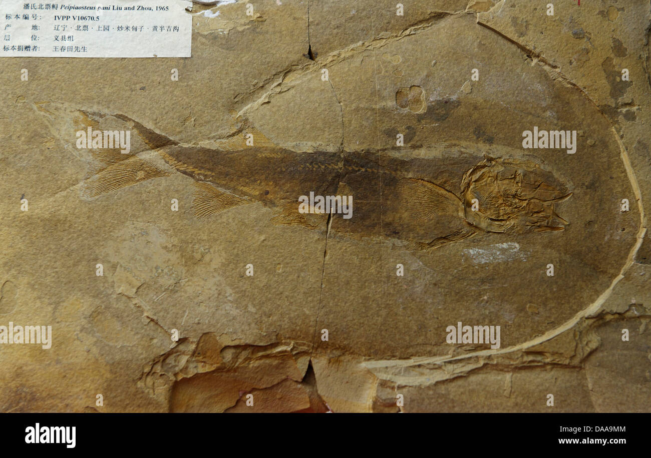 Fossile di pesce - Peipiaosteus pani e Liu Zhou, 1965. Immagini Stock