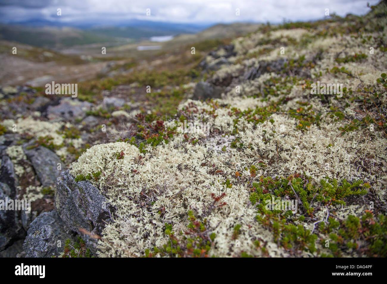 Cup lichen (Cladonia portentosa), tra crowberries, Norvegia, Dovrefjell Sunndalsfjella Parco Nazionale Immagini Stock