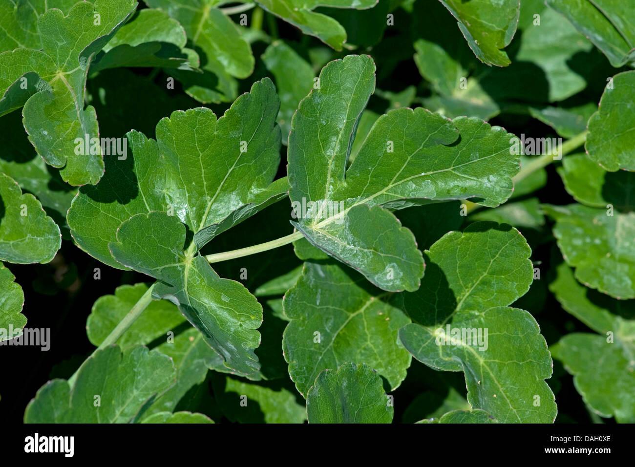 Trilobum Laser (Laser trilobum), foglie, Germania Immagini Stock