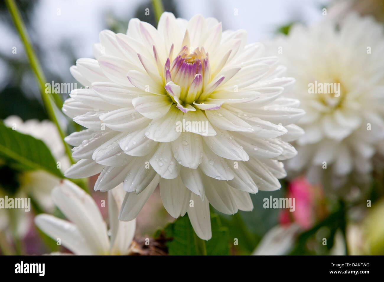"Georgina (Dahlia ""flirt"", il Dahlia Flirt), cultivar Flirt Immagini Stock"