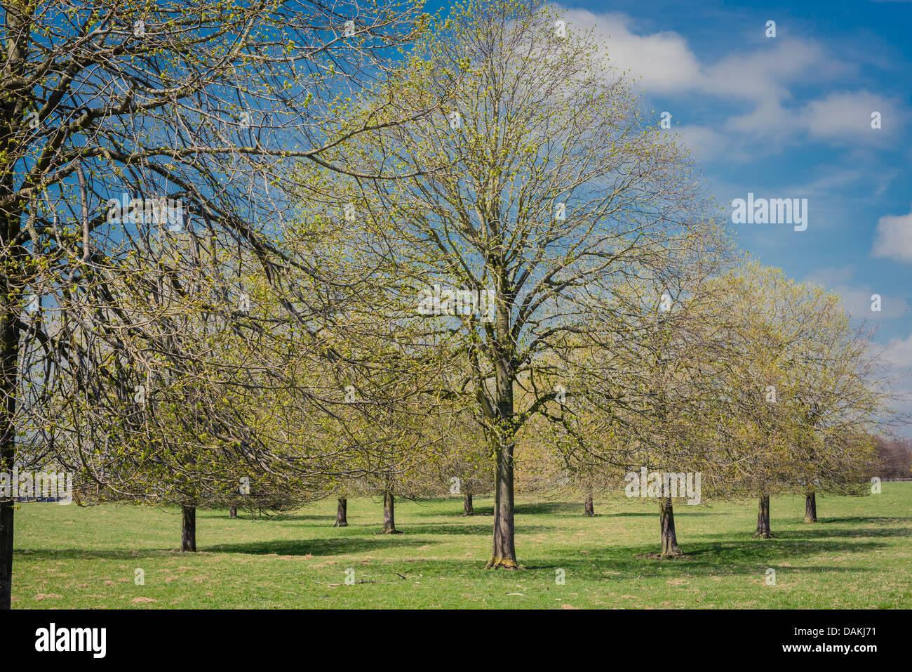 f4eef1011170 Fila di alberi di cenere nel Palazzo di Blenheim gardens