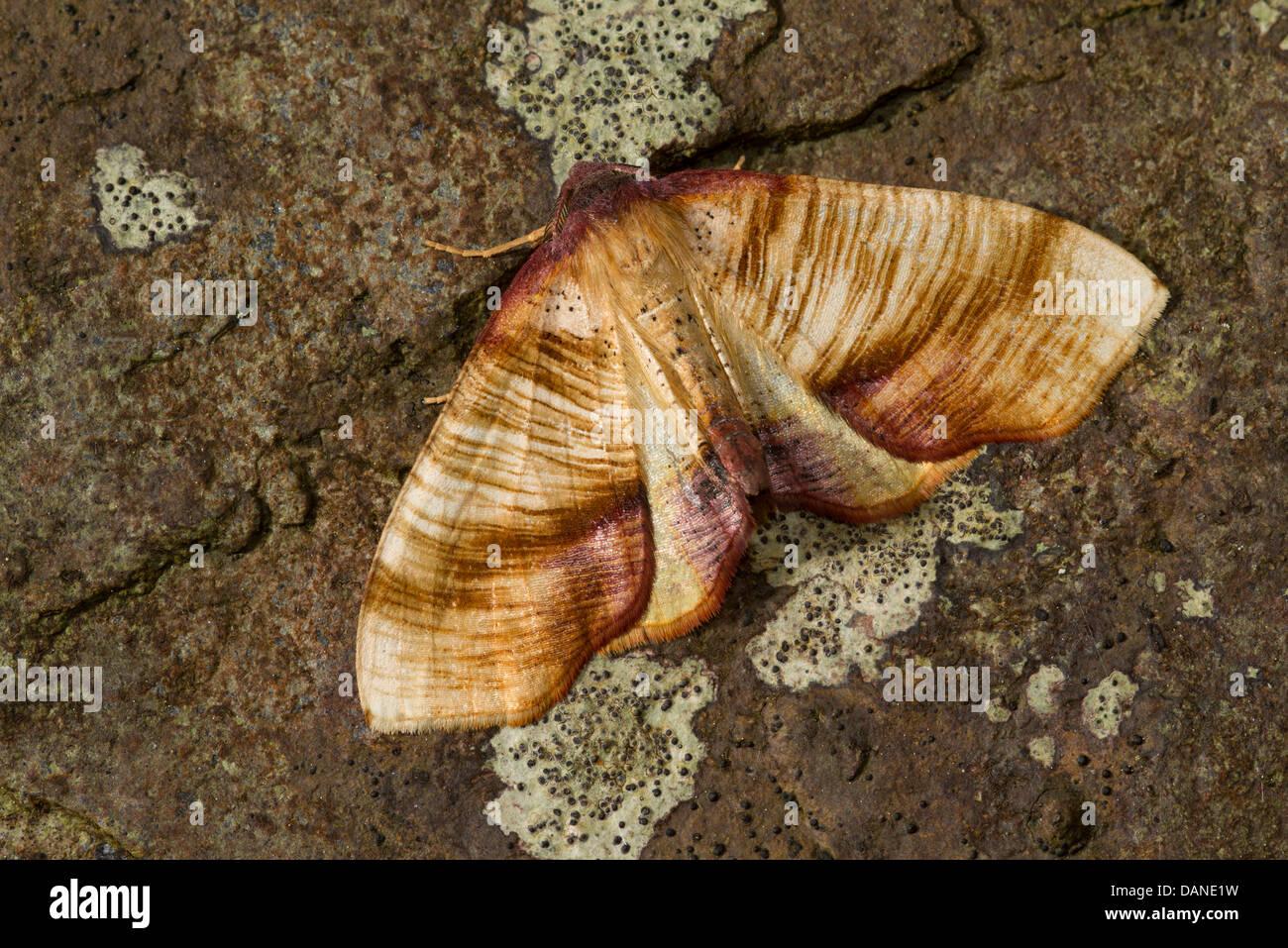 Scorched ala (Plagodis dolabraria) moth Immagini Stock