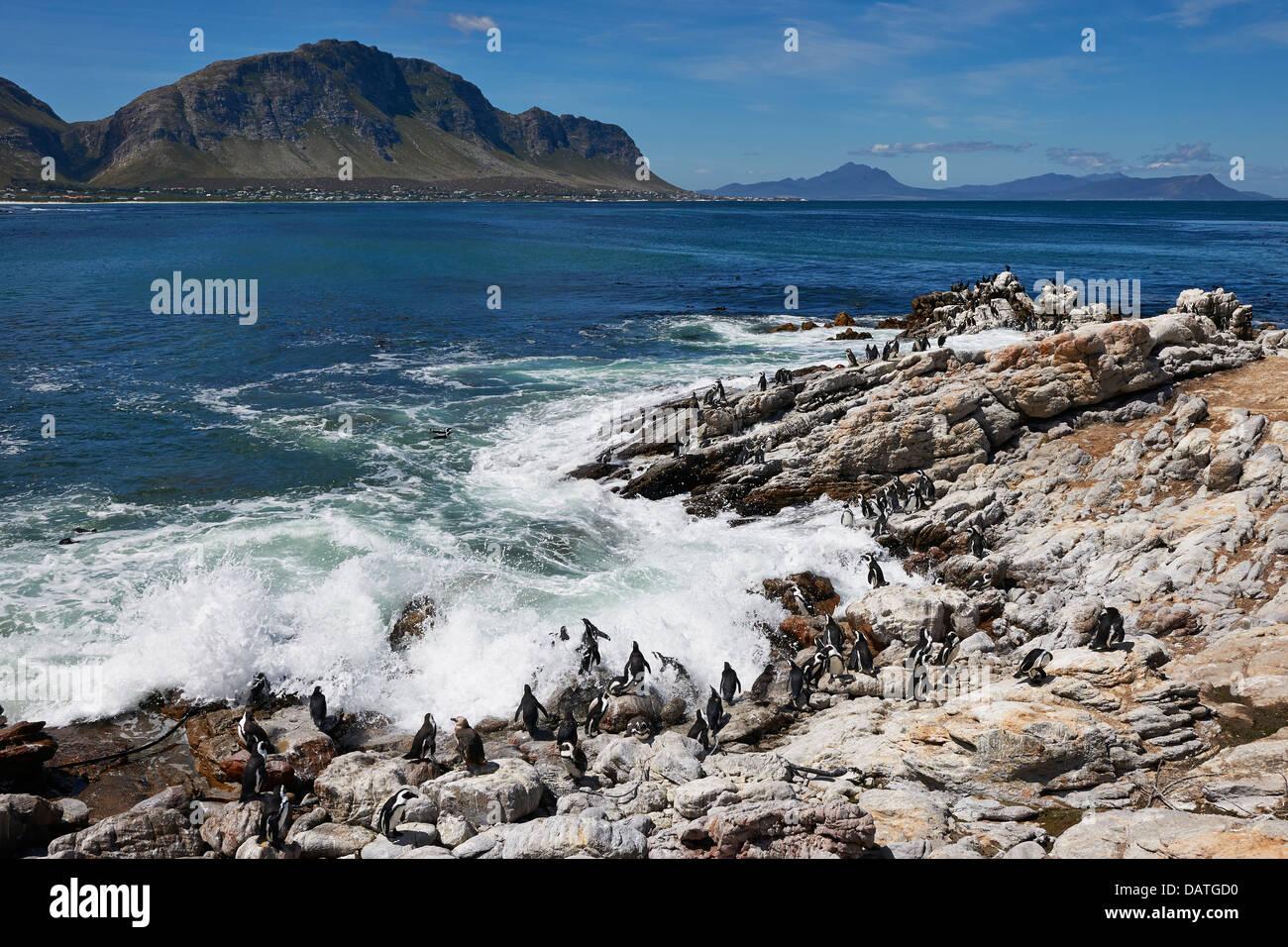 La colonia dei Pinguini africani, Spheniscus demersus, sulle rocce di Betty's Bay, Città del Capo, Western Cape, Foto Stock