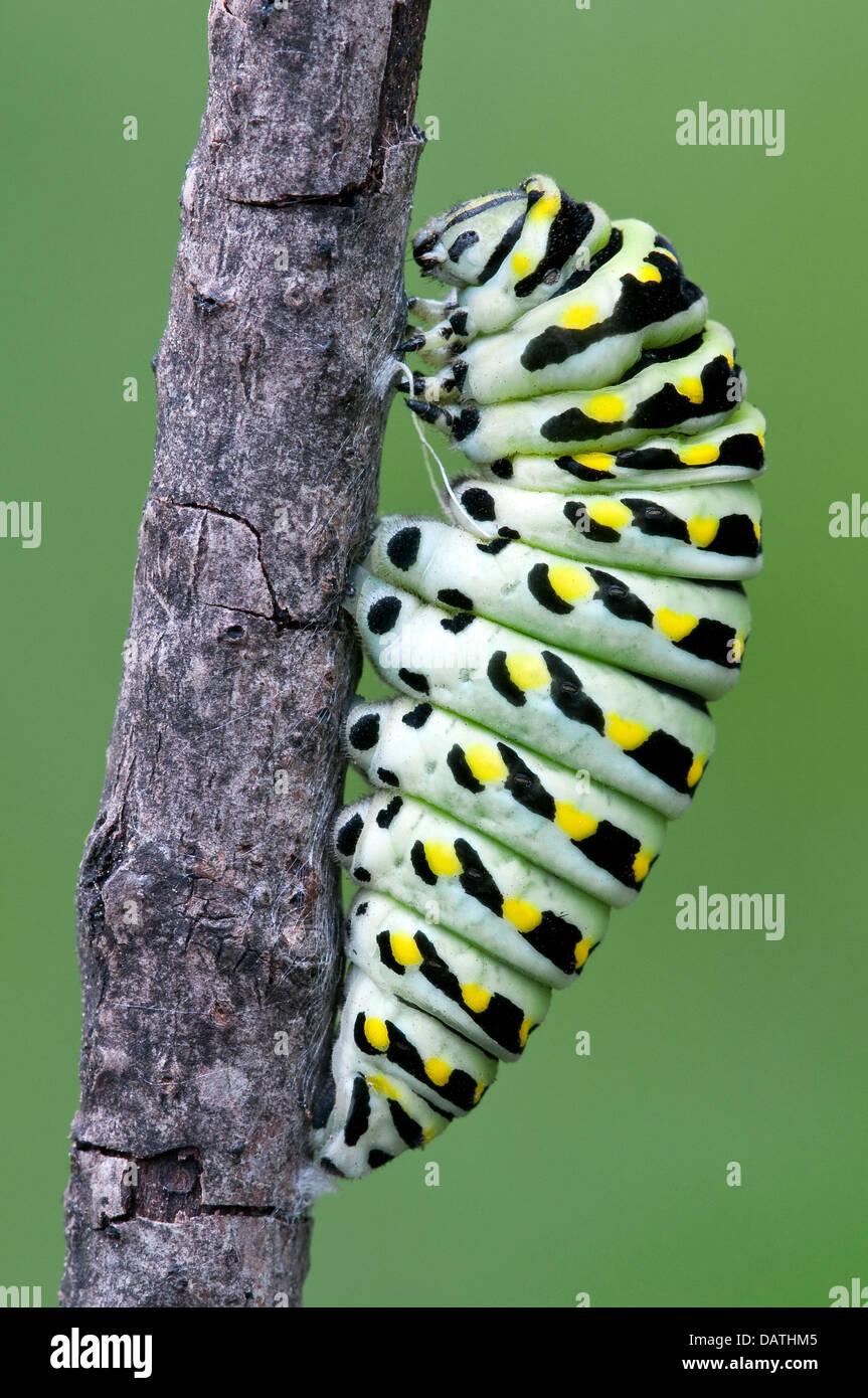 Pre-pupa stadio di e nero a coda di rondine Butterfly Papilio polyxenes E USA Foto Stock