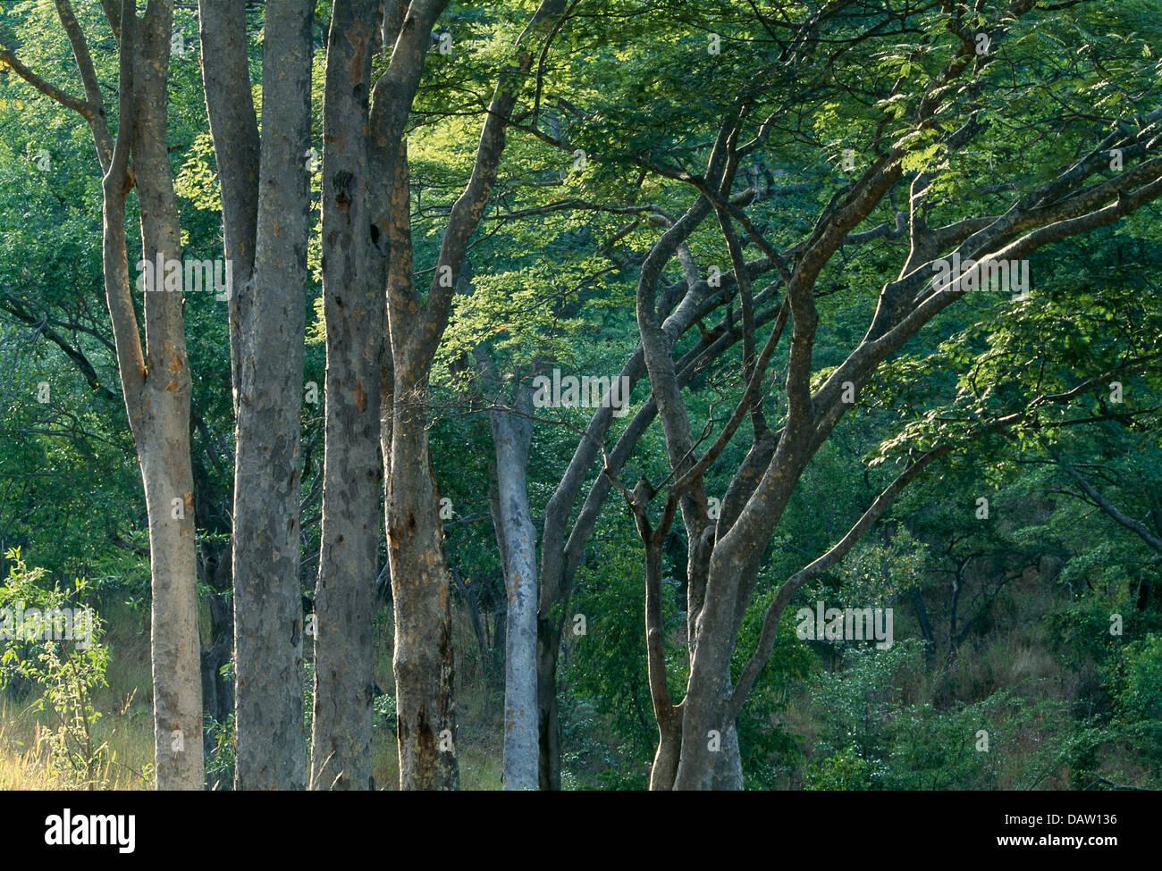 Indigeneous alberi in Chisarira Nat. Parco. Zimbabwe Immagini Stock