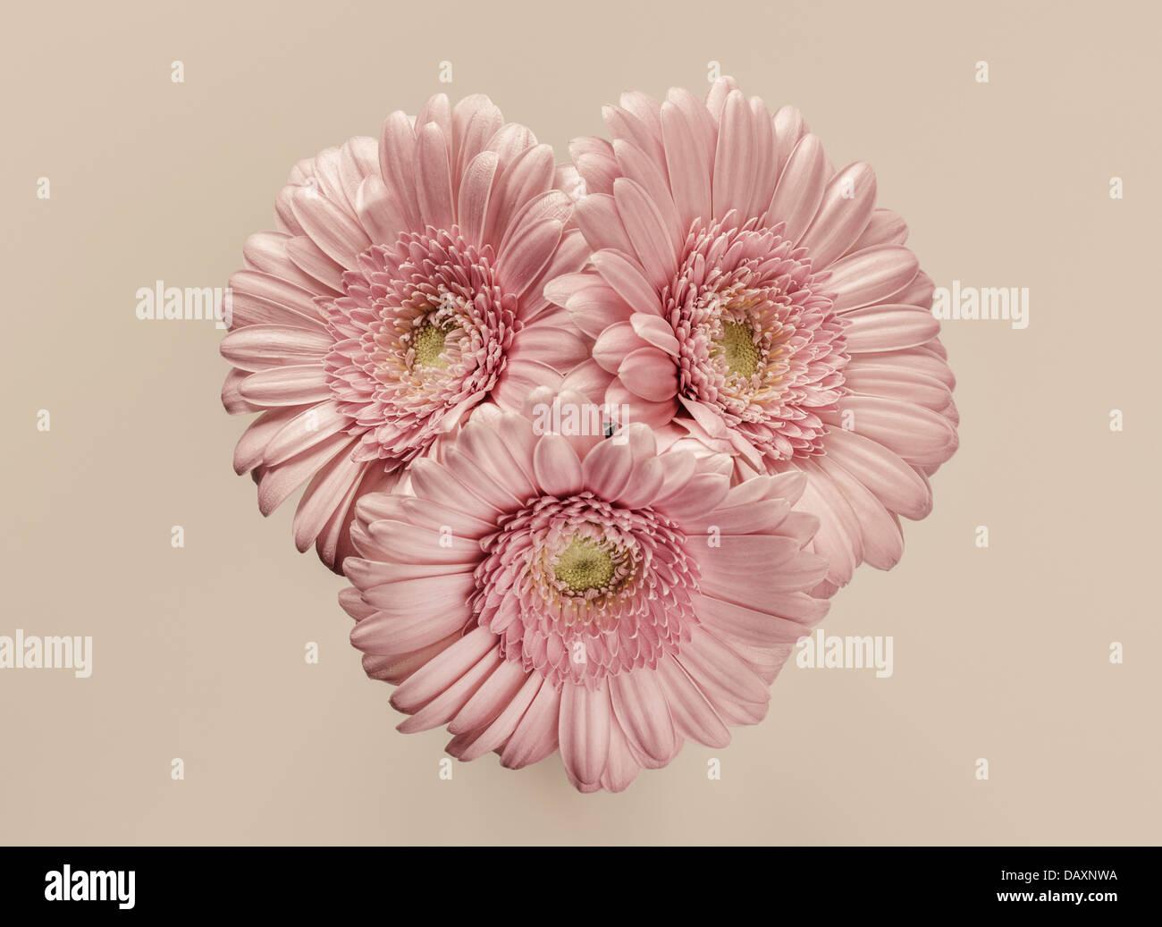 Tre gerbere rosa Immagini Stock