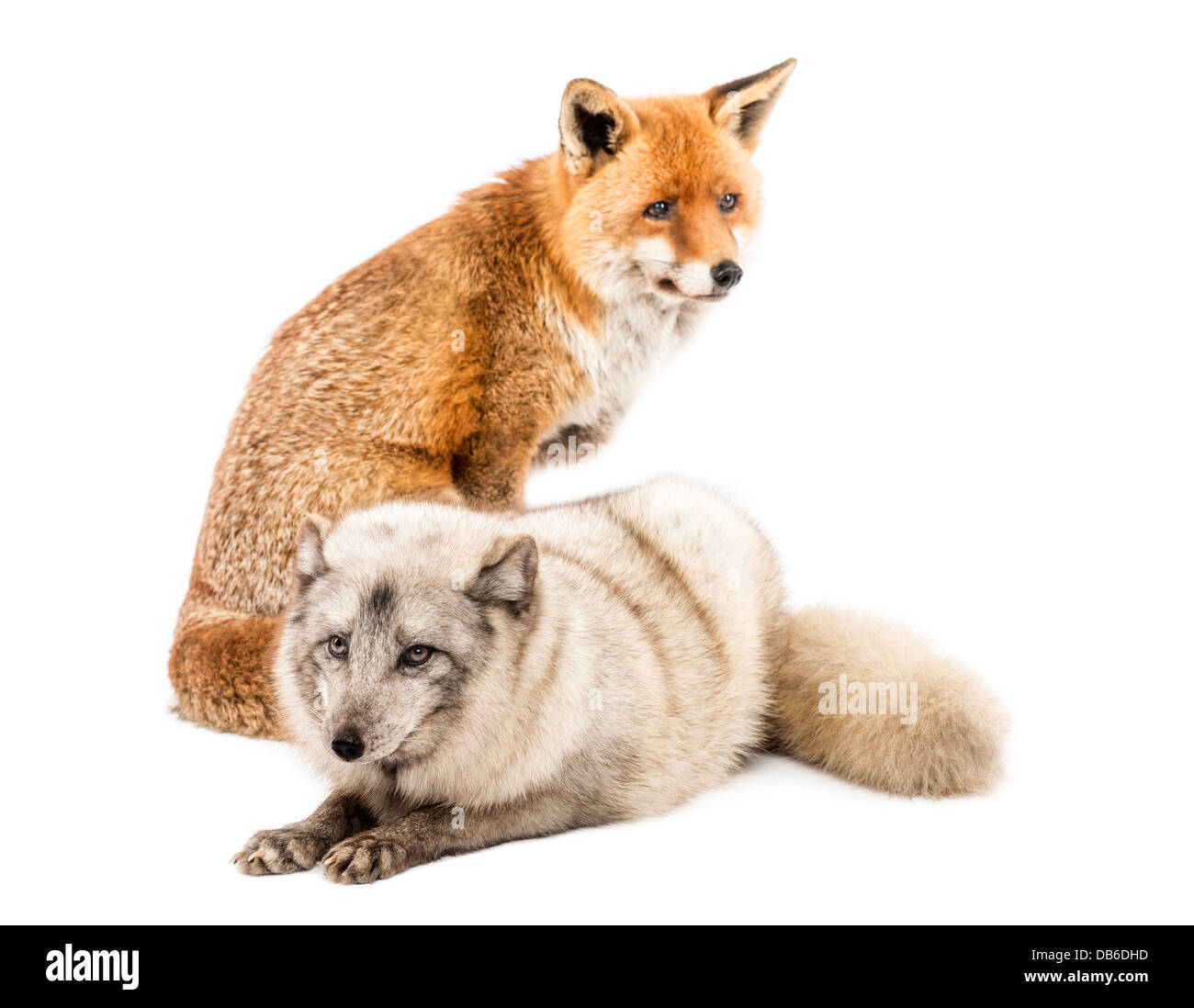 Red Fox Vulpes Vulpes Seduta Accanto Alla Volpe Artica Vulpes