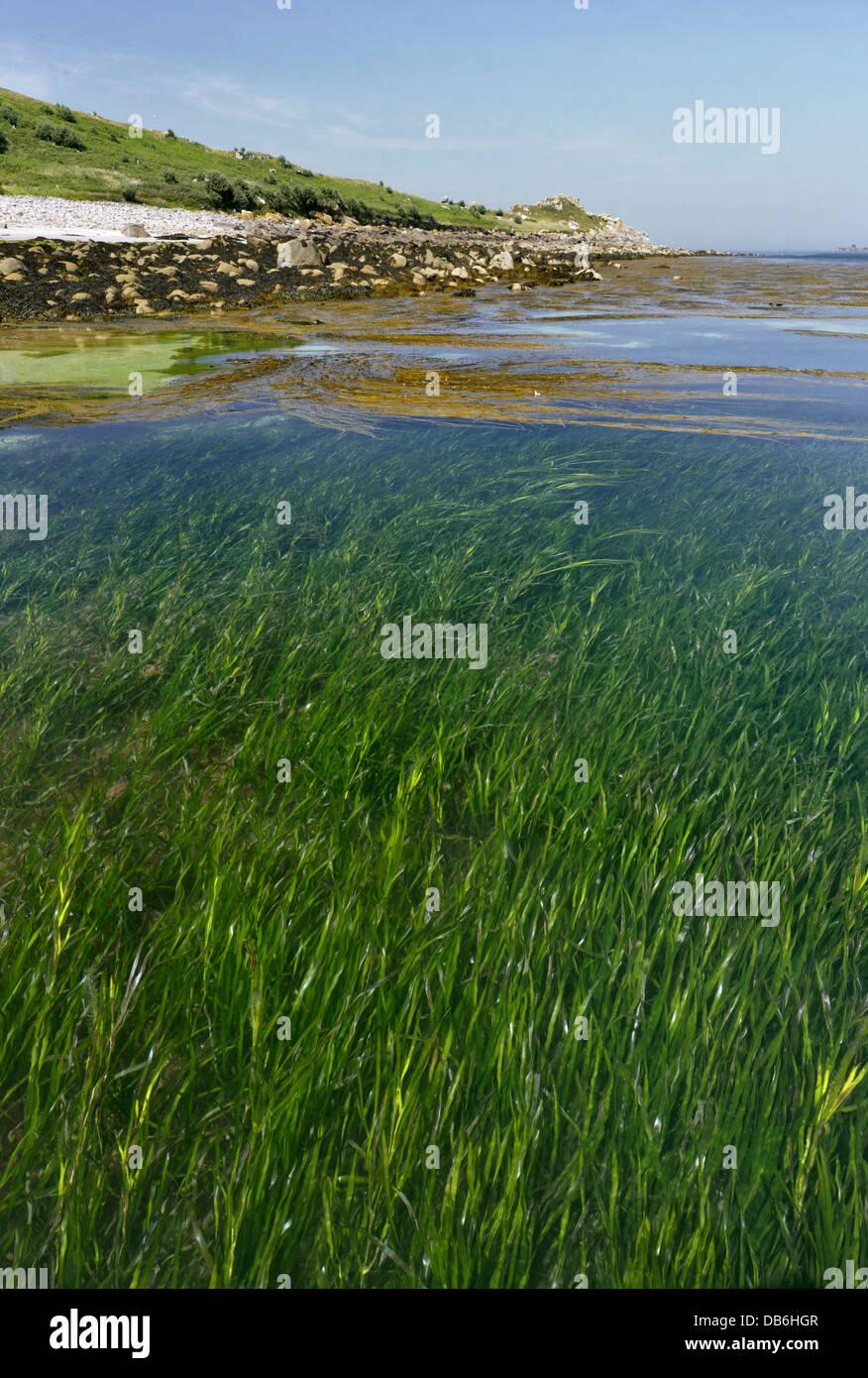 Eelgrass - Zostera marina. Letto Eelgrass, off St Helen's, Isole Scilly. Immagini Stock