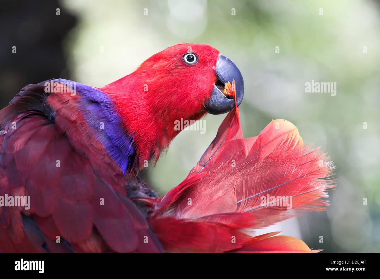 pappagallo rosso Immagini Stock