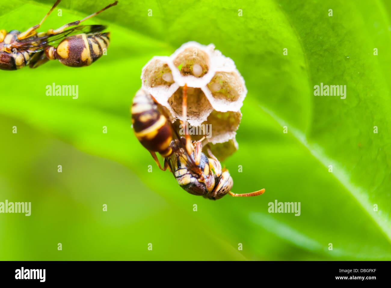 La Wasp Nest sulla foglia verde. Immagini Stock