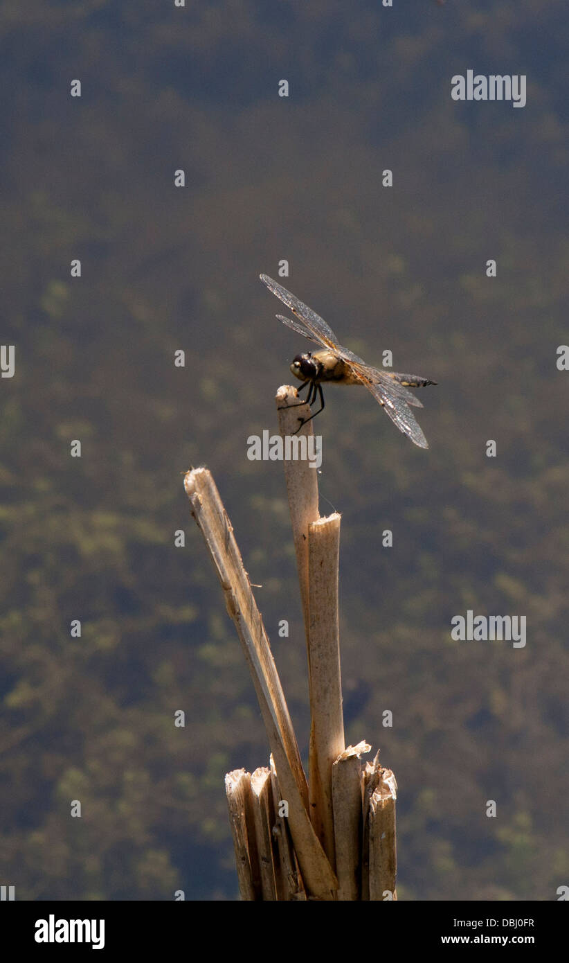 Chaser Four-Spotted Dragonfly su stick Immagini Stock
