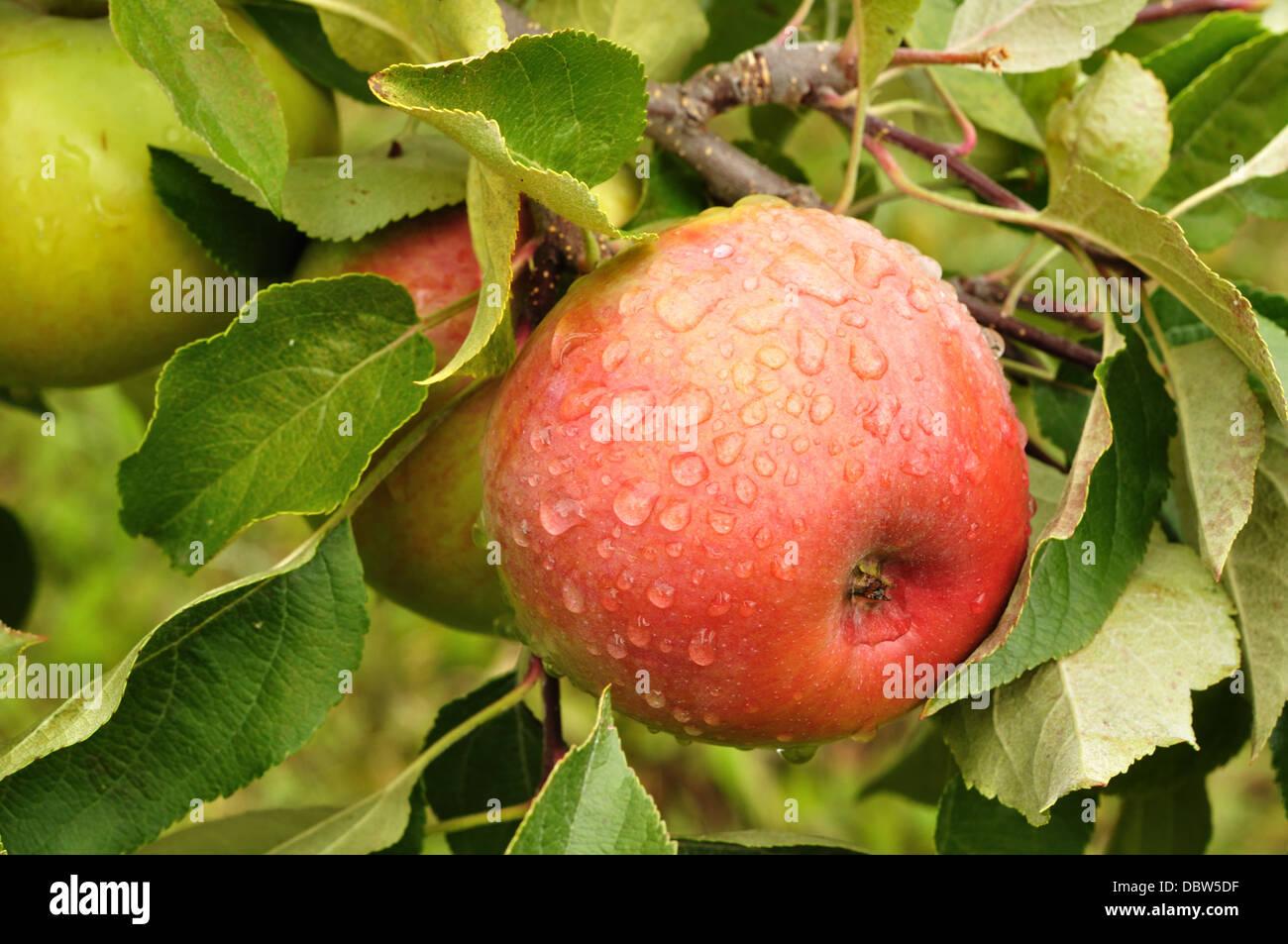 Apple che cresce su un albero di mele Immagini Stock