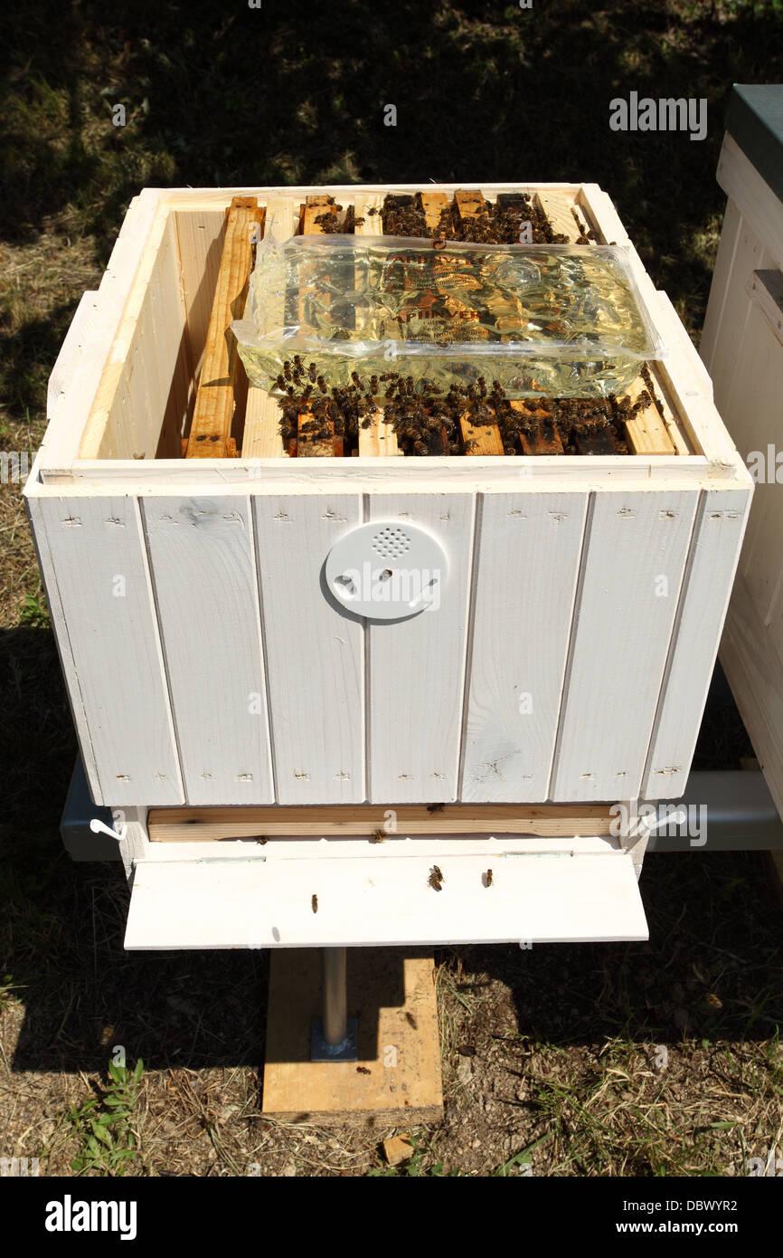 Alimentare Europea di miele delle api (Apis mellifera) colonie con lo zucchero invertito sciroppo. Immagini Stock