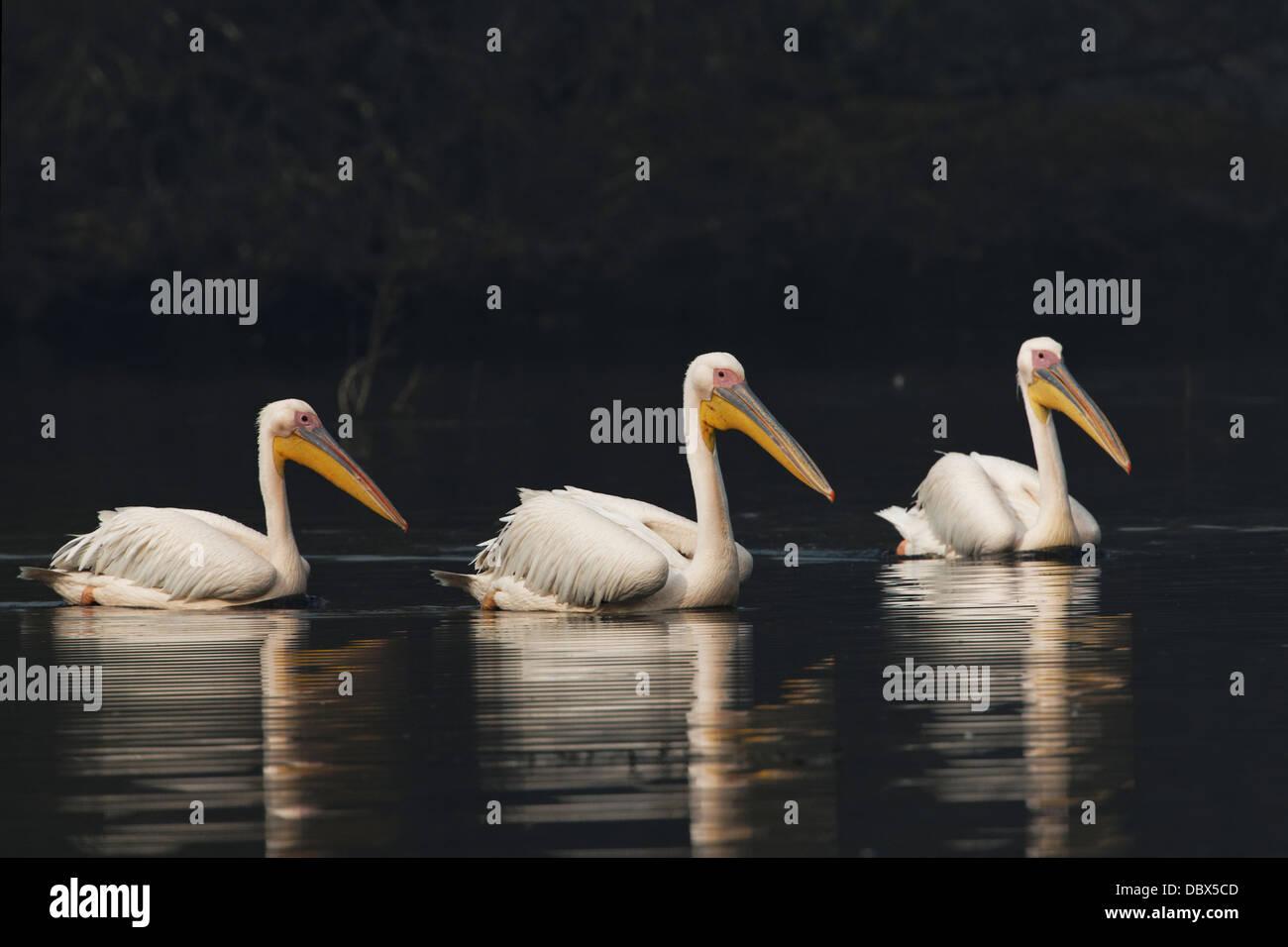 Great White Pelican ( Pelecanus onocrotalus ) India. Immagini Stock