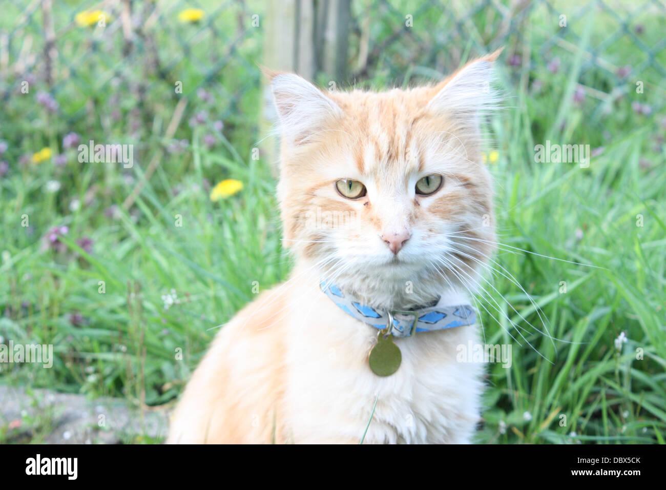 Lo zenzero gatto con collare blu e vetro in background Immagini Stock