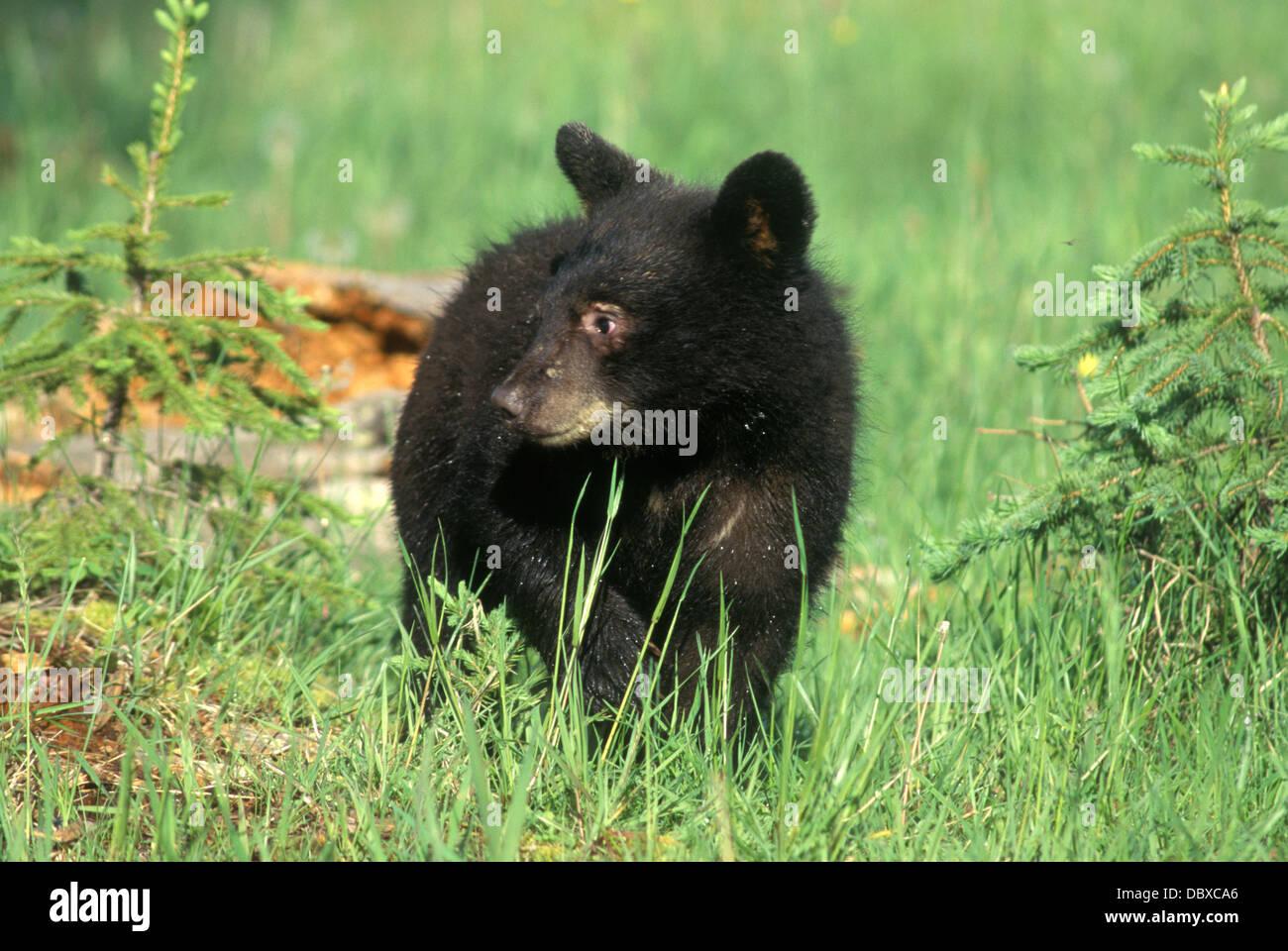 Black Bear Cub in prato ursus americanus Foto Stock