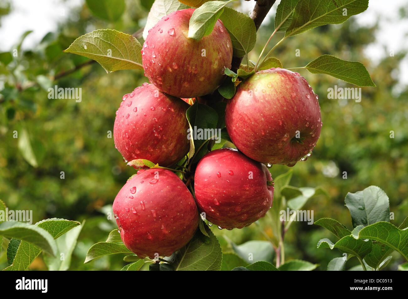 Le mele rosse crescono su un albero di mele in un frutteto Immagini Stock