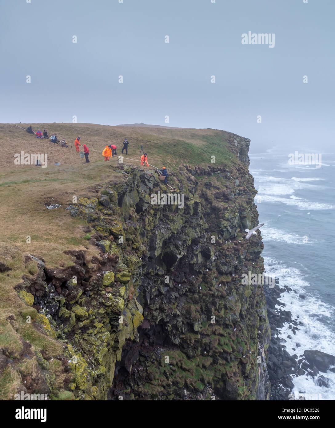 La raccolta di Guillemot le uova sulle scogliere, Ingolfshofdi, Islanda. Immagini Stock