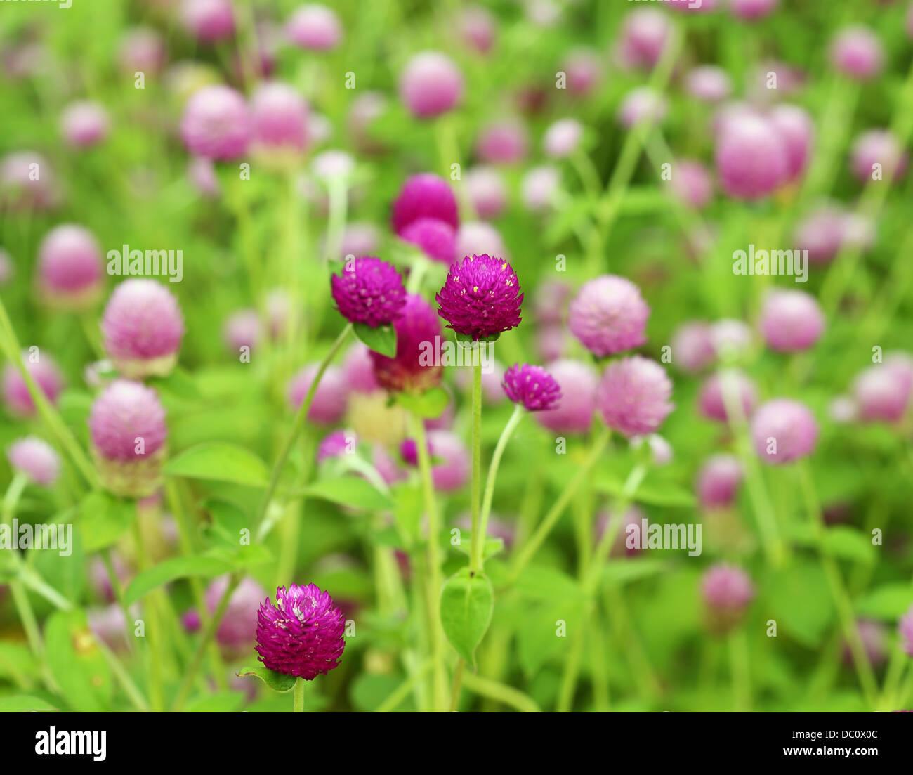 Amaranto a globo o Gomphrena globosa fiore Immagini Stock
