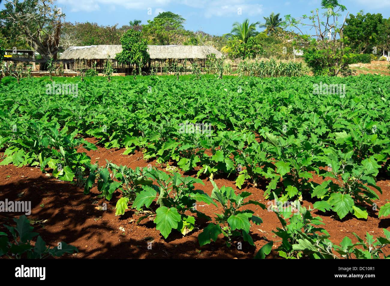 File ordinate di verdure verdi sono in crescita in righe a Organoponicos de Alamar Foto Stock