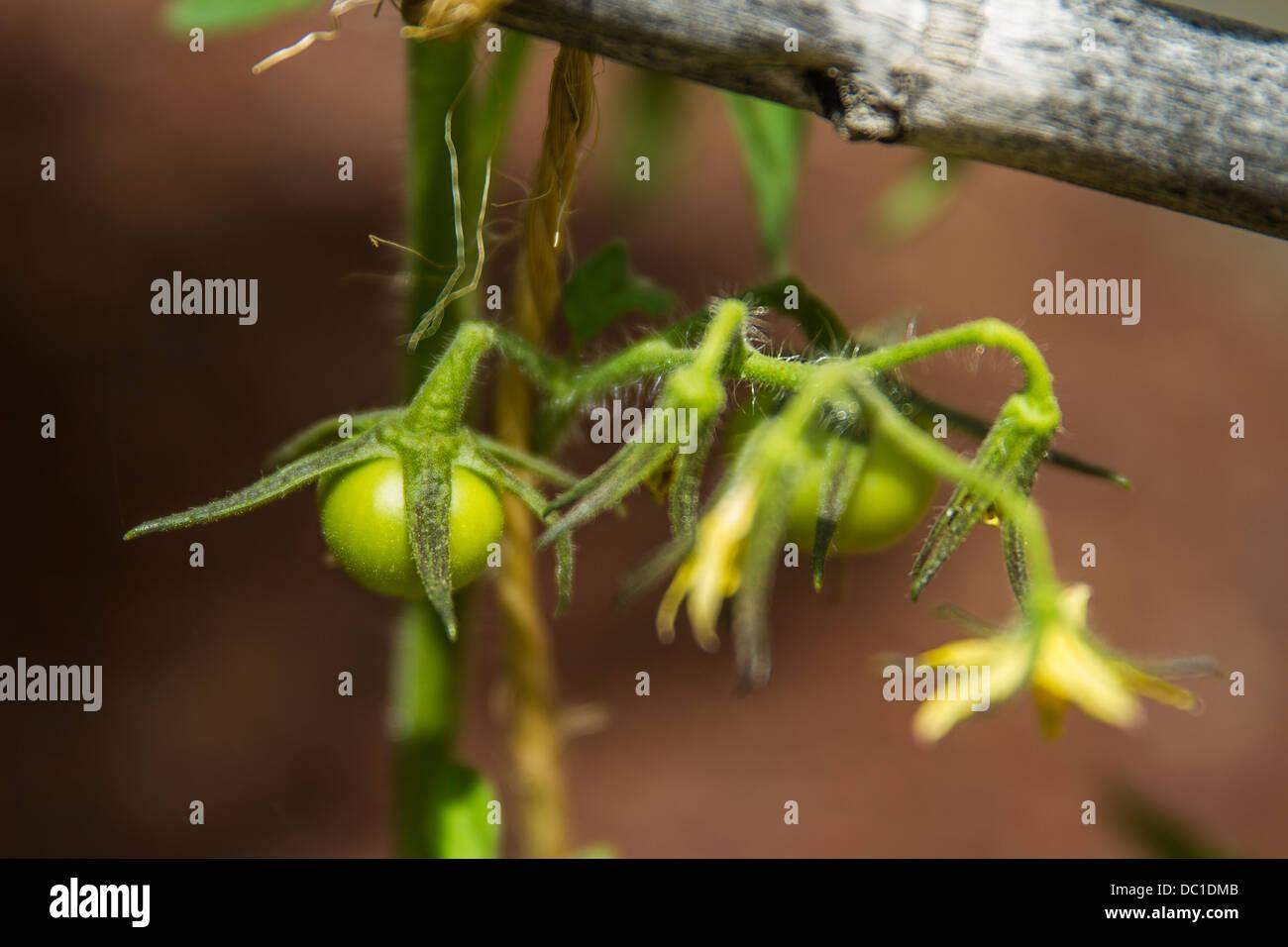 Pomodori in erba Immagini Stock
