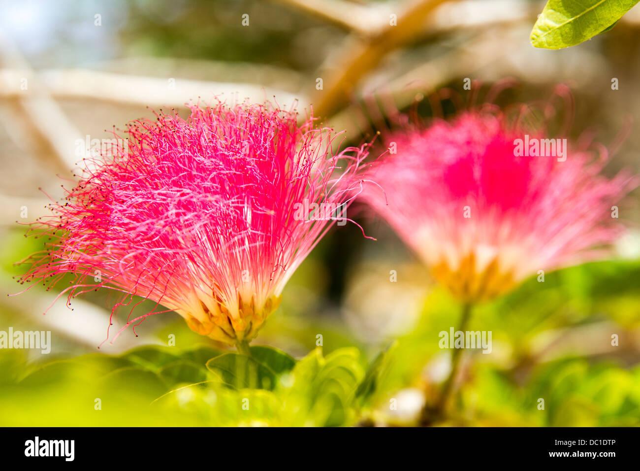 Polvere rosa puff Immagini Stock