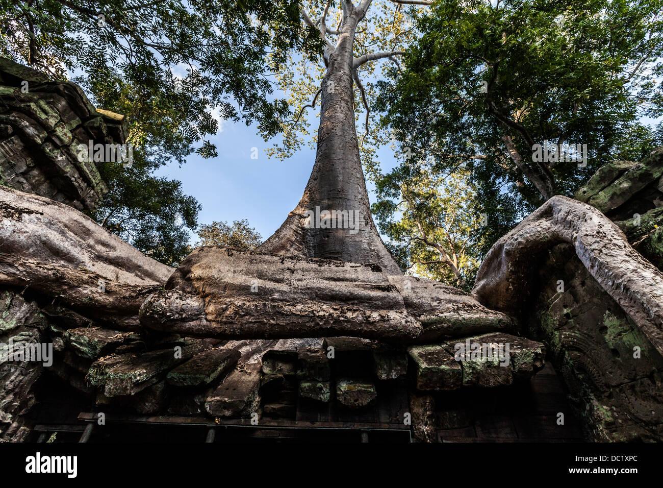 Incolto radici di albero a Ta Prohm rovine di templi di Angkor Wat, Siem Reap, Cambogia Foto Stock