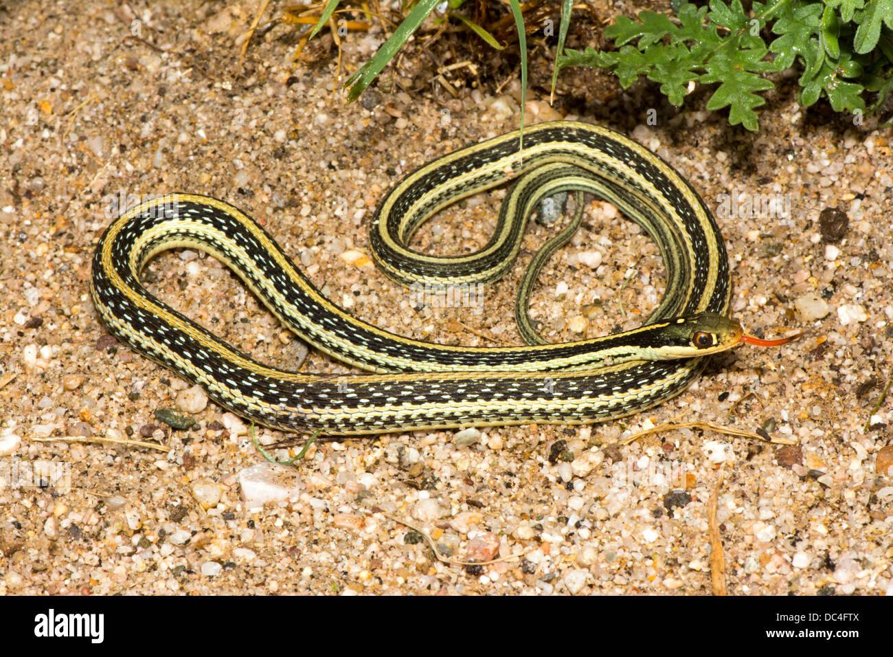 Western Ribbon Snake Thamnophis proximus origine sconosciuta 21 luglio adulto Colubridae Immagini Stock