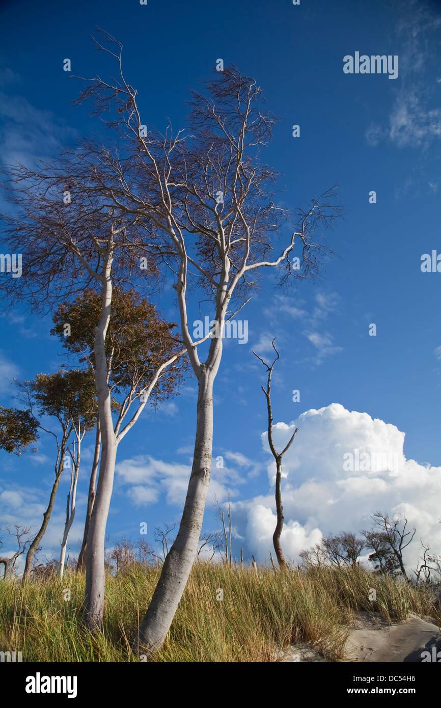 Europa, Deutschland, Meclenburgo-Pomerania,Fischland-Darss-Zingst,Prerow alberi nelle dune Foto Stock