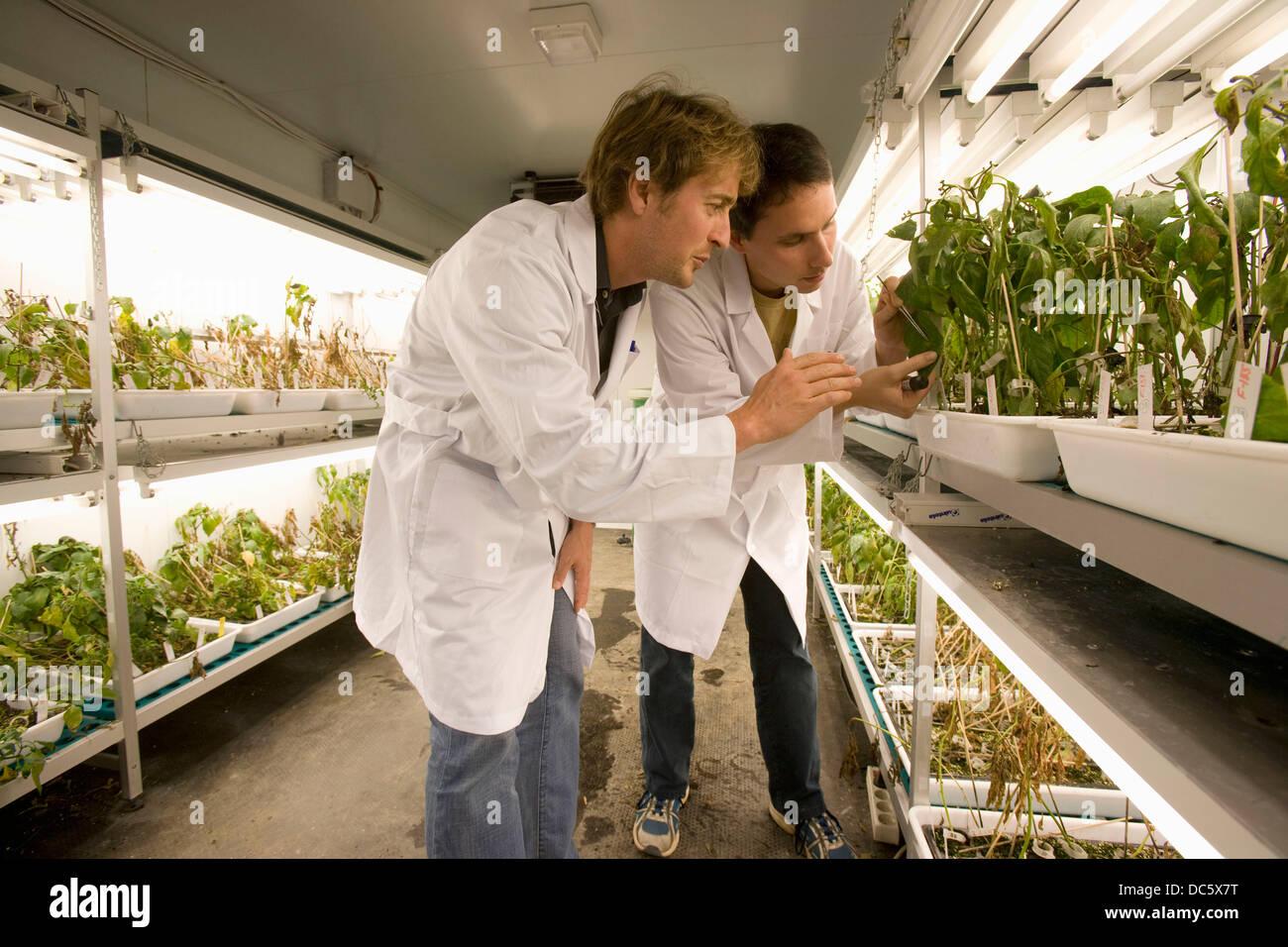 Valutazione di pepper plant cultivar la resistenza alle malattie fungine, sala di cultura, Departamento de Producción Immagini Stock