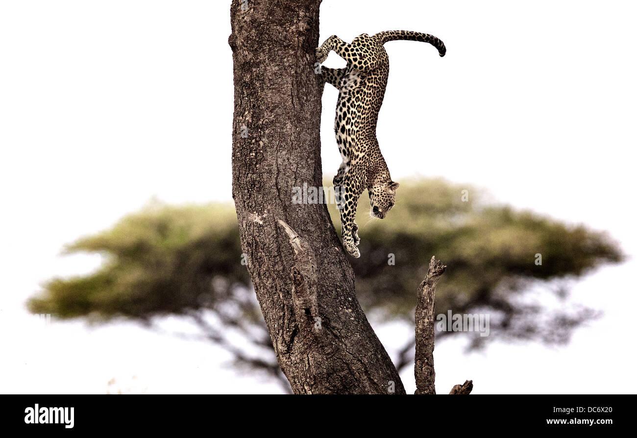 Leopard salta giù dalla struttura ad albero Serengeti Tanzania Immagini Stock