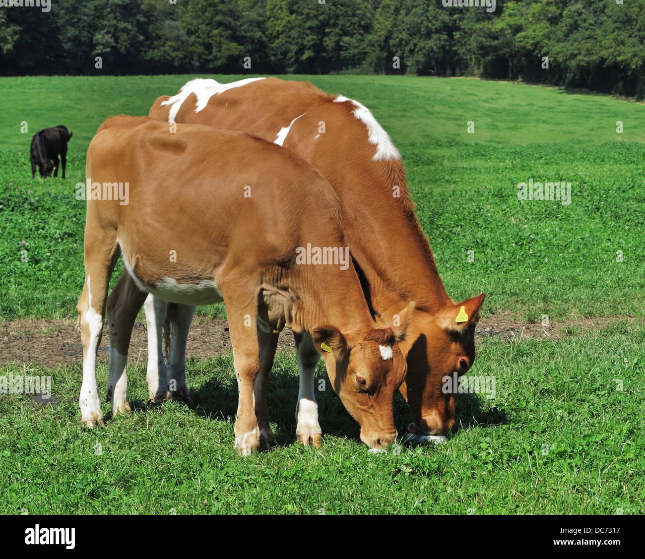 Una coppia di giovani Guernsey vacche leccare un salt lick in un prato inglese Foto Stock