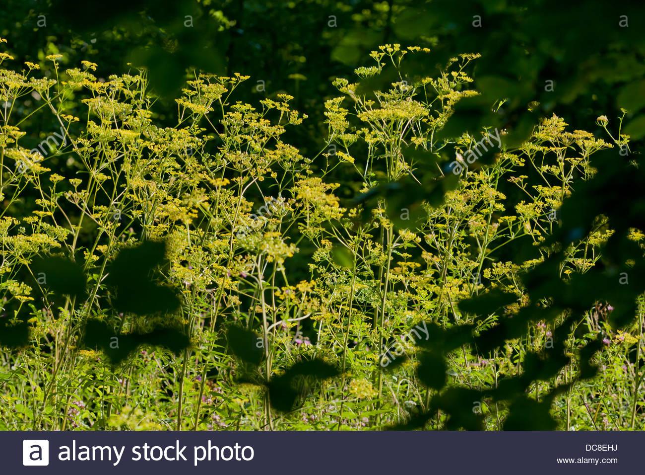 Wild pastinaca pastinaca sativa nativi fiori fiori biennale bosco estivi prato di bordo campo giallo agosto pianta Immagini Stock