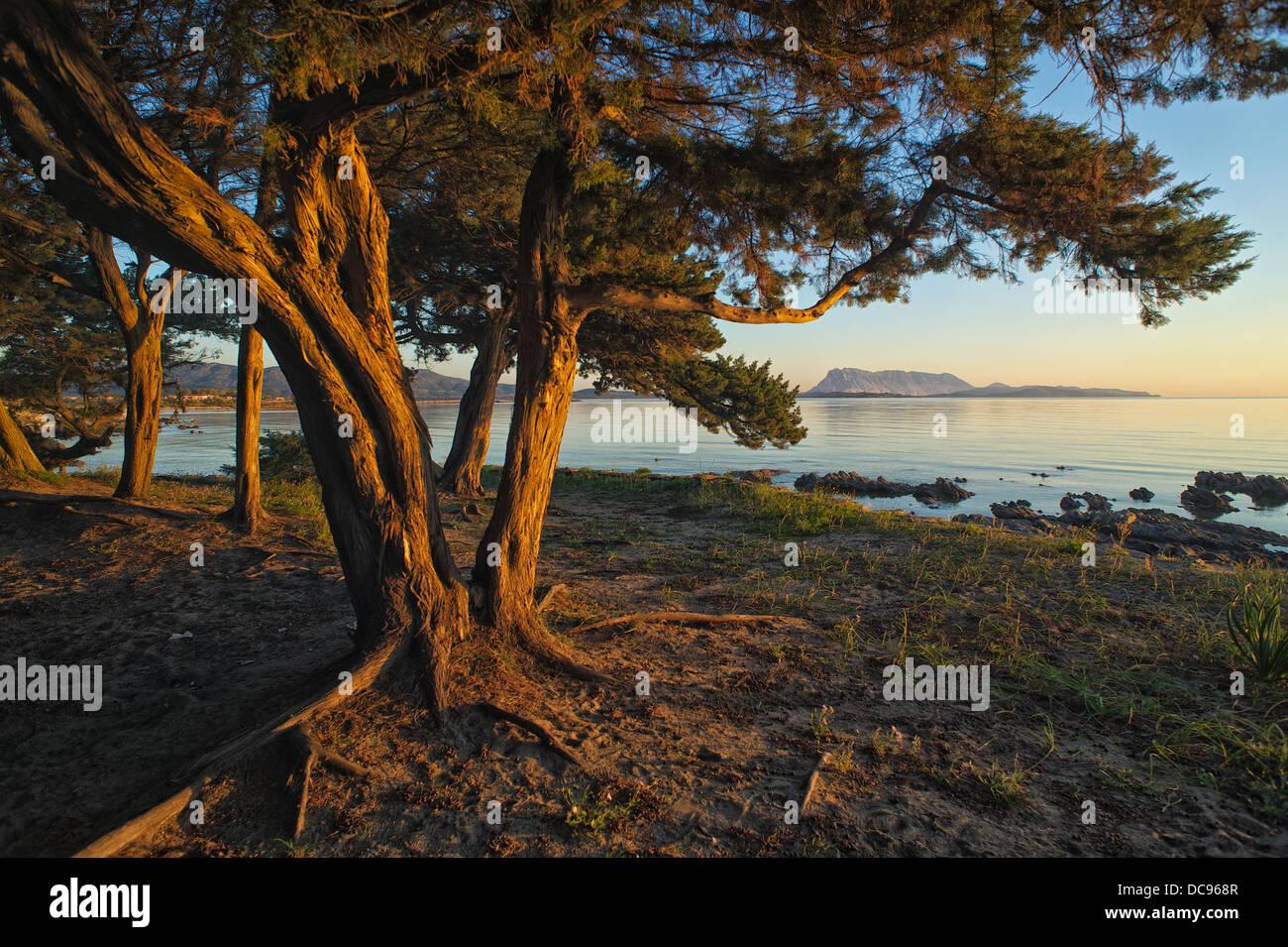 Albero in sole di mattina presso la spiaggia di San Teodoro Immagini Stock