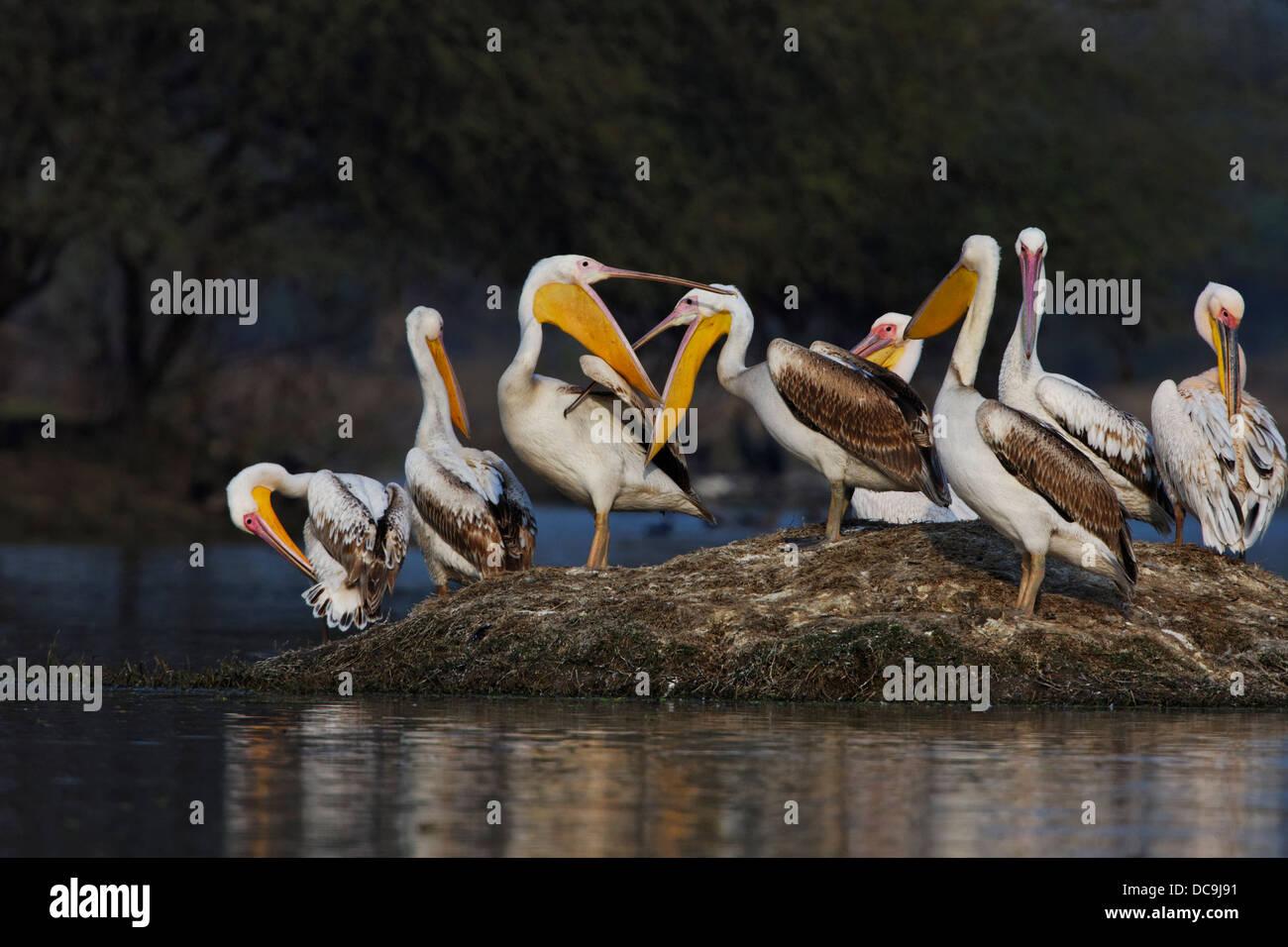 Grande pellicani bianchi ( Pelecanus onocrotalus ) India. Immagini Stock