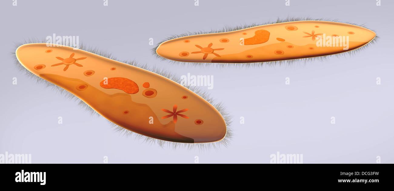 Vista microscopico di paramecio. Immagini Stock