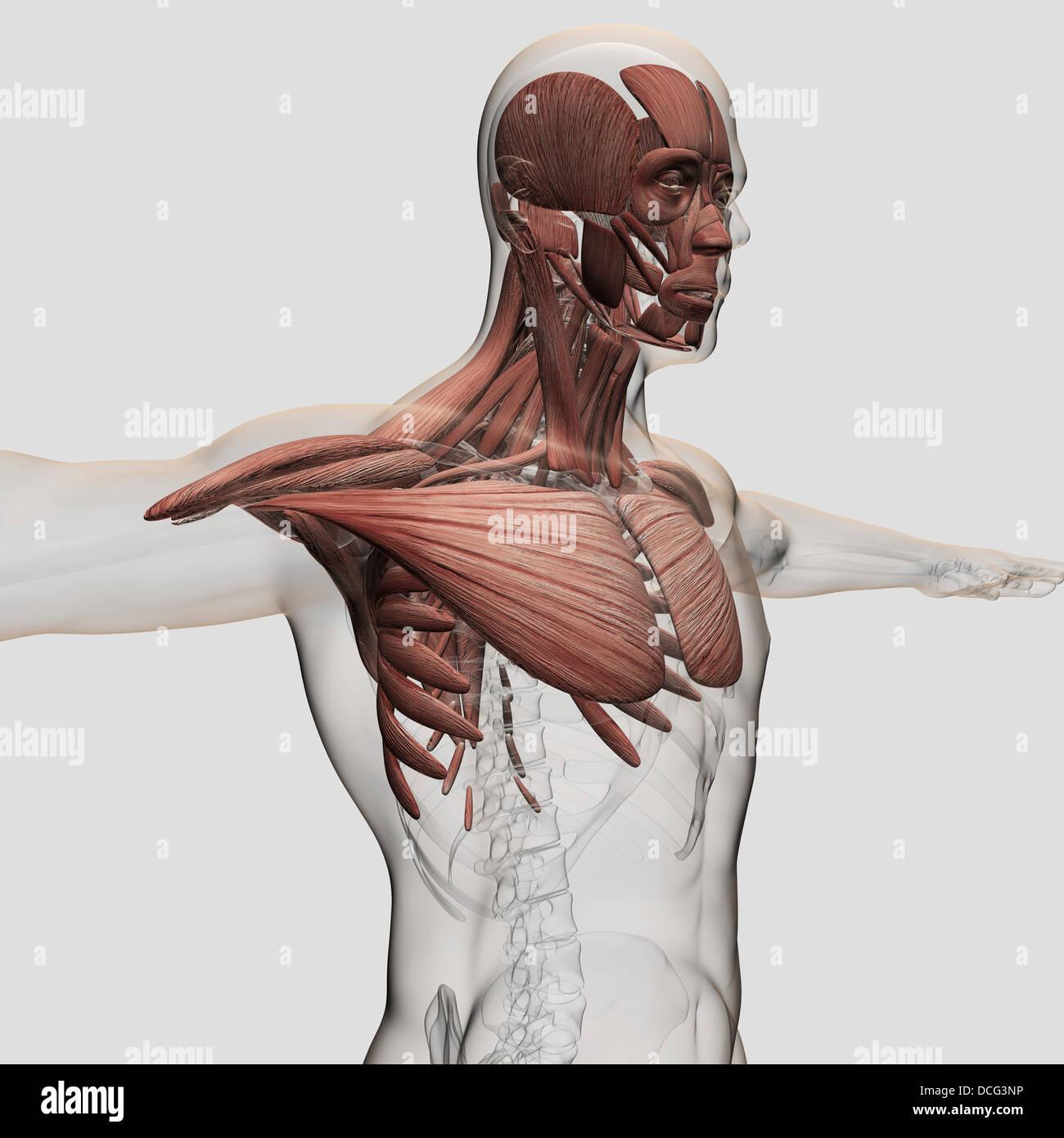 Anatomia di muscoli maschio nel corpo superiore, vista anteriore. Immagini Stock