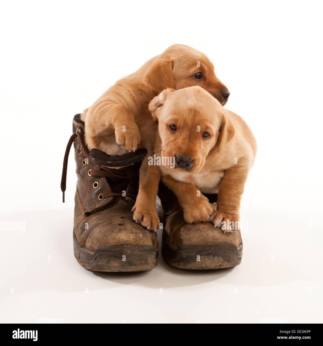 Due Labrador cuccioli in una coppia di cuoio stivali da lavoro Immagini Stock