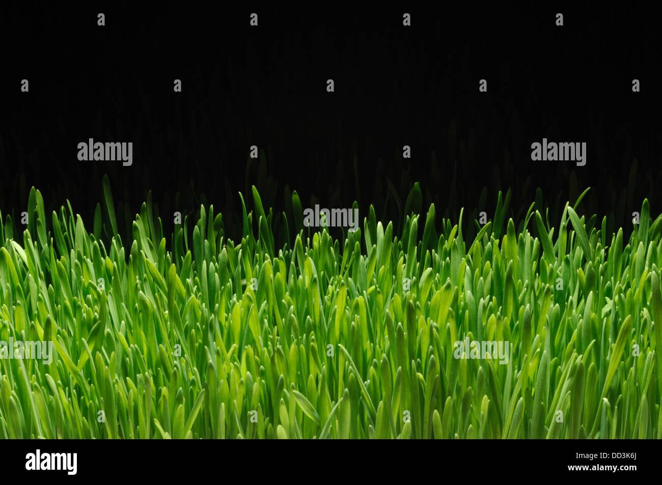 Una sezione della coltivazione di erba verde su sfondo nero Immagini Stock