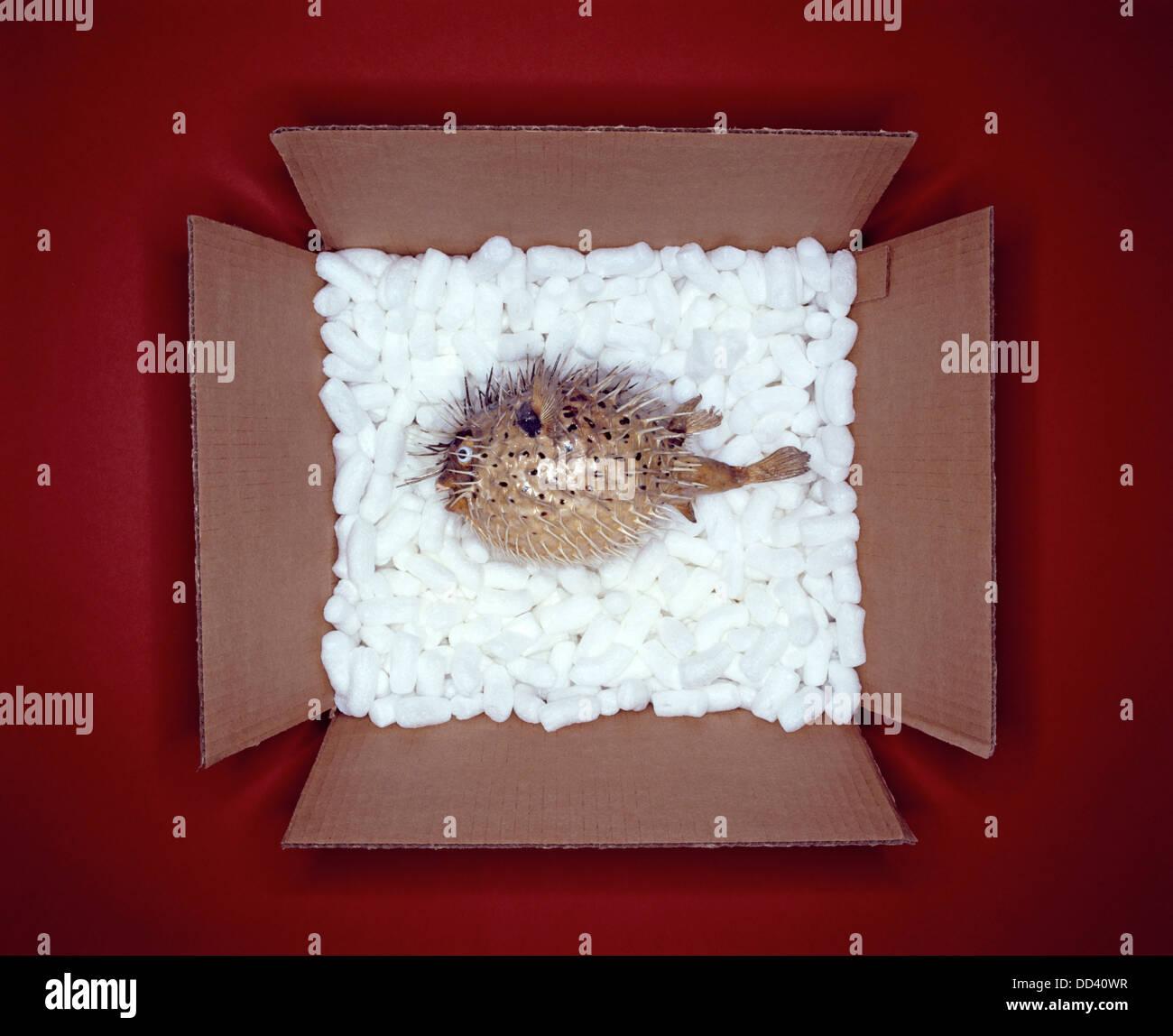 Un Puffer fish in una scatola di cartone con il bianco del materiale di imballaggio Immagini Stock