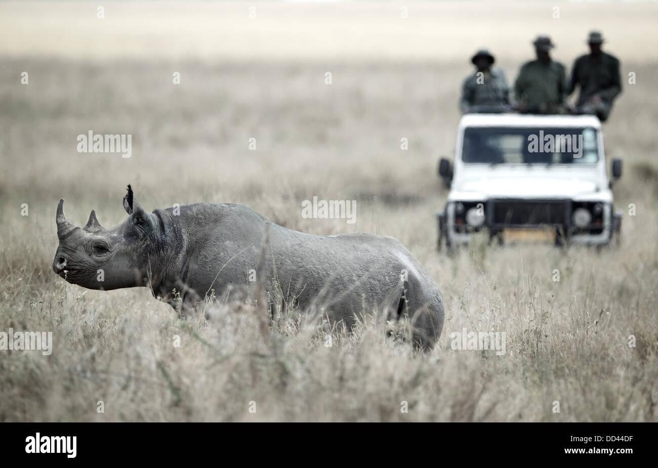 Un rinoceronte nero Diceros simum essendo mantenuta sotto attento monitoraggio da parco tanzaniano operai dal TANAPA Immagini Stock