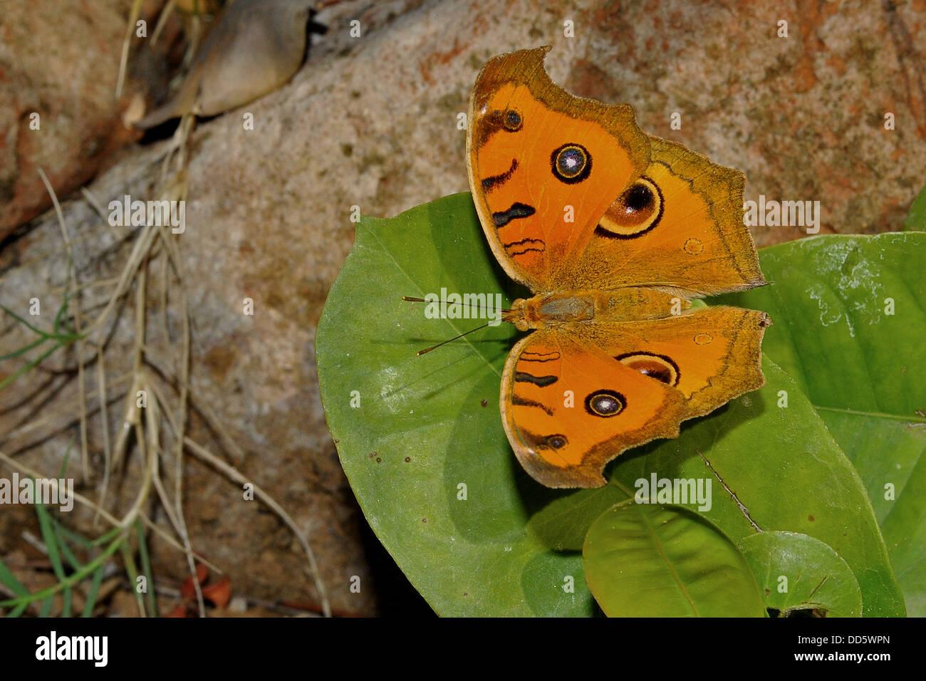 Un pavone pansy butterfly appoggiata su una foglia. Immagini Stock