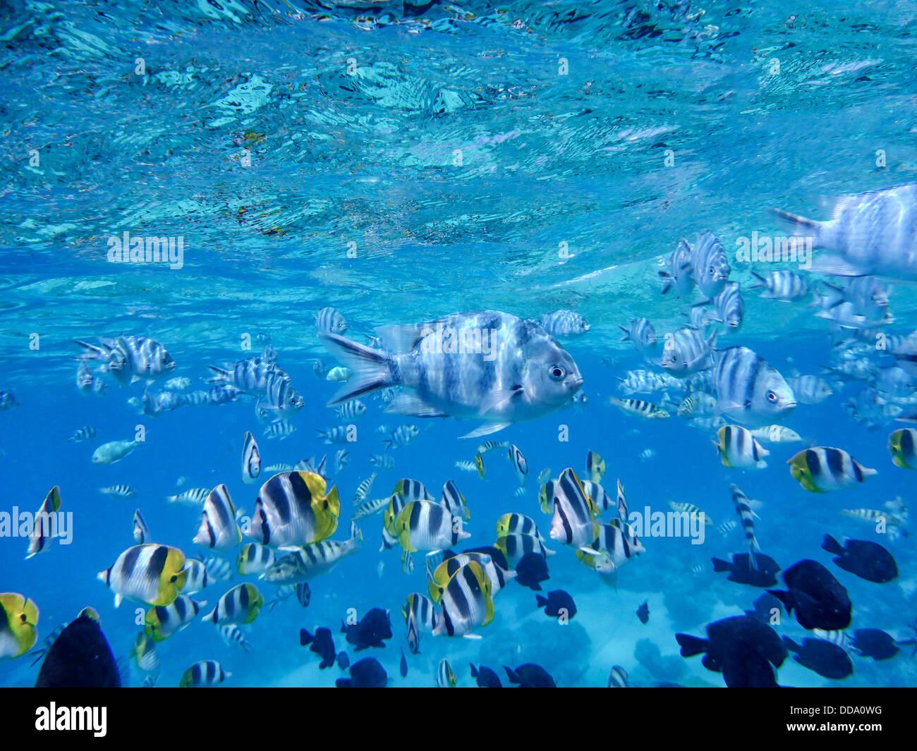Pesce tropicale. Bora Bora. Polinesia francese Immagini Stock
