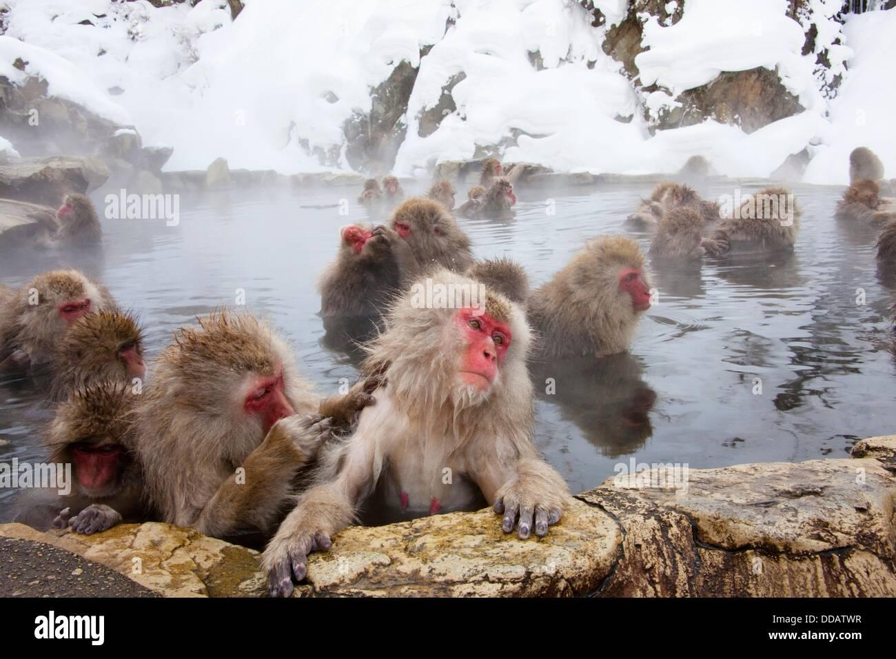 Macachi giapponesi (Macaca fuscata). Jigokudani Monkey Park, Prefettura di Nagano, Giappone Immagini Stock