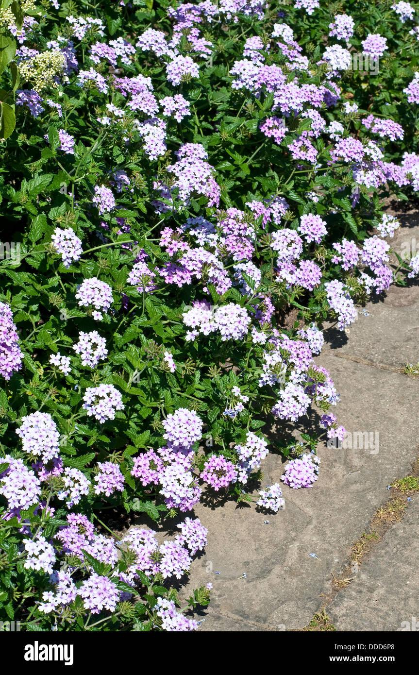 La verbena del confine di fiori Foto Stock