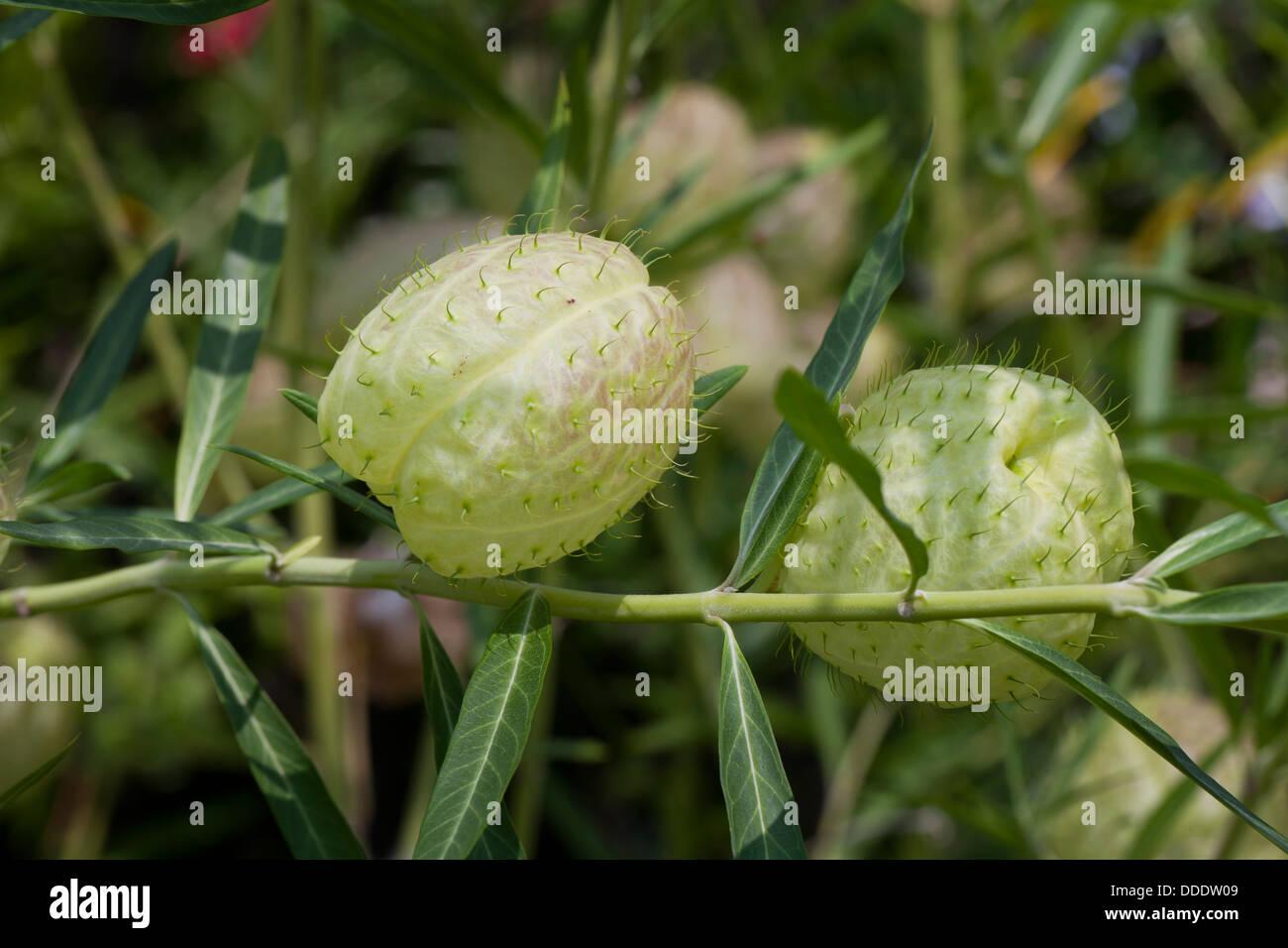 Impianto di palloncino (Asclepias physocarpa) Immagini Stock