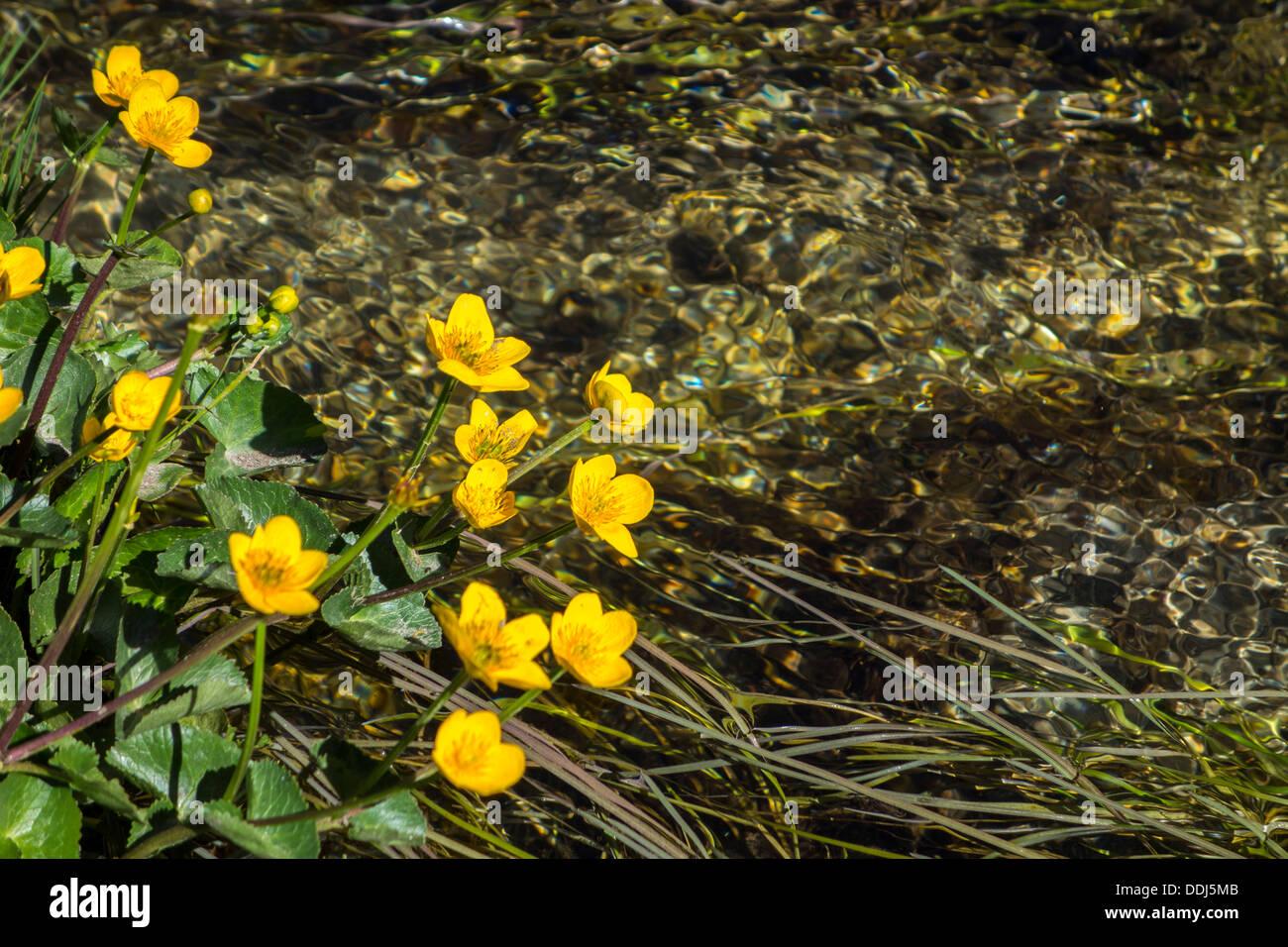 Fiori Gialli Montagna.Fiori Gialli Marsh Calendula Cresce Su Acqua Ruscello Di Montagna