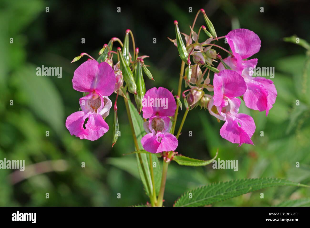 L'Himalayan Balsamina Impatiens glandulifera, Close-up di fiori, Lea Valley, Essex, Regno Unito Foto Stock